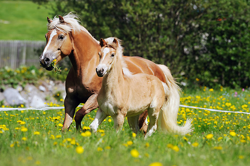 HOR 03 SS0025 01 © Kimball Stock Mare And Foal Haflinger Horses Trotting Through Pasture With Yellow Flowers
