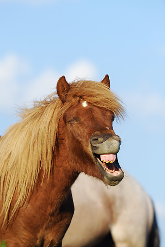 HOR 03 SS0027 01 © Kimball Stock Portrait Of Icelandic Horse Yearling Yawning