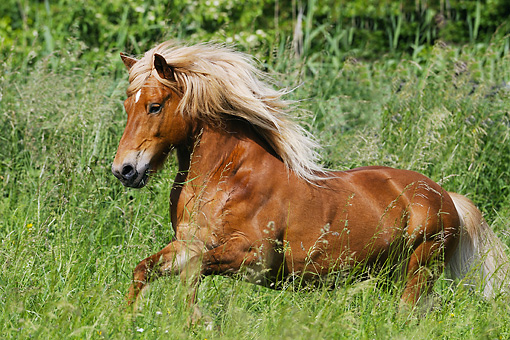 HOR 03 SS0028 01 © Kimball Stock Icelandic Horse Gelding Galloping In Meadow