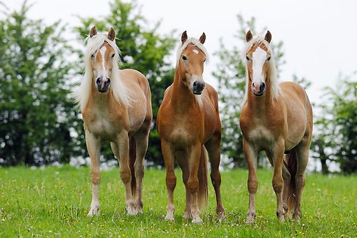 HOR 03 SS0029 01 © Kimball Stock Three Haflinger Colts Standing In Pasture