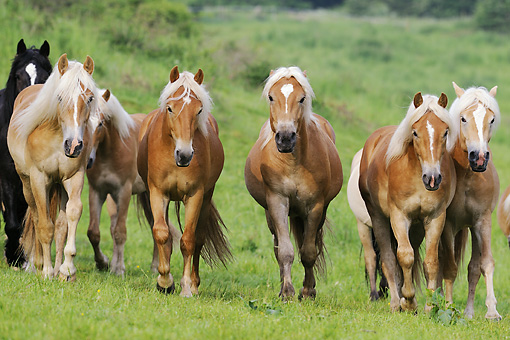 HOR 03 SS0030 01 © Kimball Stock Group Of Haflinger Colts Walking Through Meadow