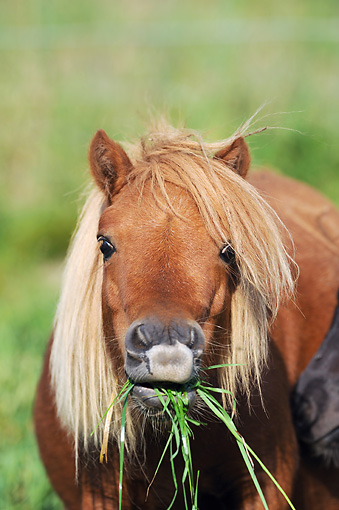 HOR 03 SS0052 01 © Kimball Stock Close-Up Of Flaxen Chestnut Miniature Shetland Pony Eating Grass