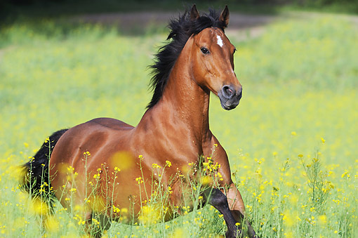 HOR 03 SS0058 01 © Kimball Stock German Riding Pony Mare Galloping Through Spring Meadow