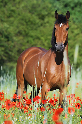HOR 03 SS0059 01 © Kimball Stock German Riding Pony Mare Standing In Spring Meadow