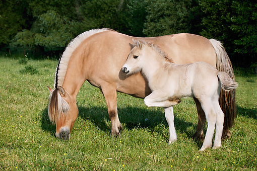 HOR 03 KH0006 01 © Kimball Stock Norwegian Fjord Mare And Foal Standing In Field