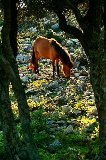HOR 03 KH0009 01 © Kimball Stock Skyros Pony Grazing Among Rocks By Trees