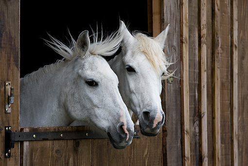 HOR 03 KH0010 01 © Kimball Stock Head Shot Of Two Welsh Ponies Looking Out Stall Door