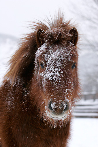 HOR 03 KH0011 01 © Kimball Stock Head Shot Of Shetland Pony In Snow
