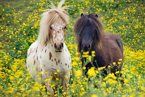 HOR 03 MB0001 01 © Kimball Stock Miniature Horse Mares Standing In Field Of Yellow Flowers