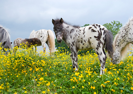 HOR 03 MB0002 01 © Kimball Stock Miniature Horse Mares And Foals Standing In Field Of Yellow Flowers