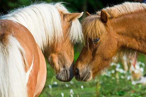 HOR 03 MB0003 01 © Kimball Stock Two Miniature Horses Nuzzling In Pasture