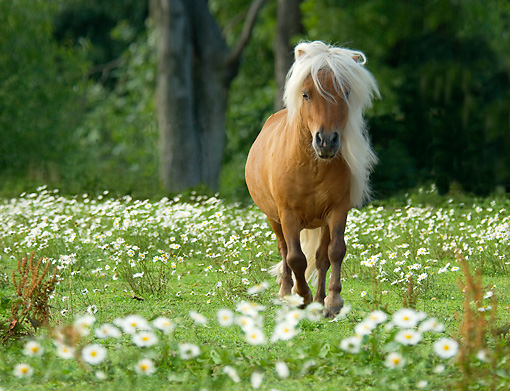 HOR 03 MB0005 01 © Kimball Stock Palomino Miniature Horse Stallion Walking In Field Of White Wildflowers