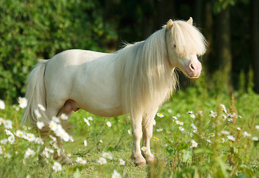 HOR 03 MB0006 01 © Kimball Stock Cremello Miniature Horse Stallion Standing In Field Of White Wildflowers