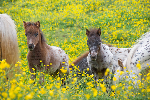 HOR 03 MB0007 01 © Kimball Stock Herd Of Miniature Horses Standing In Pasture Of Yellow Flowers