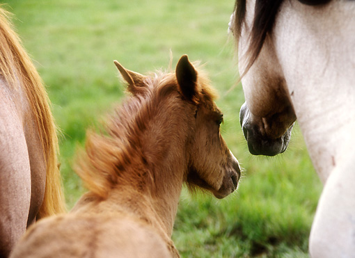 HOR 03 MB0008 01 © Kimball Stock Close-Up Of Assateague Pony Foal And Mare Standing In Field
