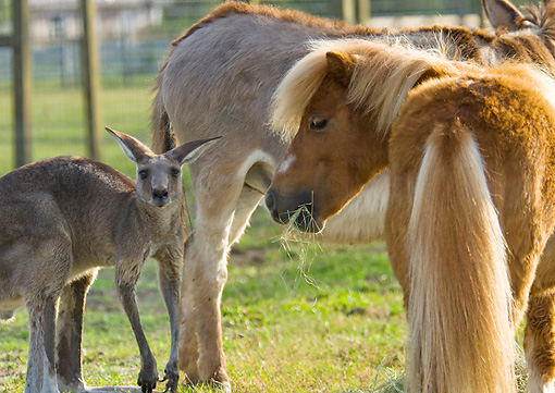 HOR 03 MB0009 01 © Kimball Stock Miniature Horse Standing In Pasture With Kangaroo