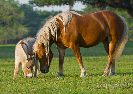 HOR 03 MB0010 01 © Kimball Stock Haflinger Mare And Miniature Donkey Grazing In Pasture