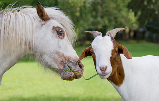 HOR 03 MB0013 01 © Kimball Stock Close-Up Of Miniature Horse And Goat Eating Grass In Pasture
