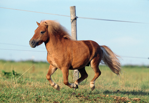 HOR 03 SS0015 01 © Kimball Stock Flaxen Chestnut Miniature Shetland Pony Galloping In Pasture