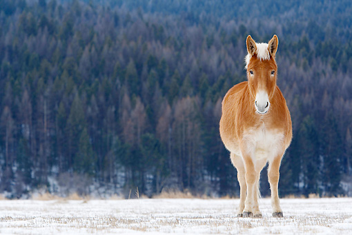 HOR 04 KH0002 01 © Kimball Stock Mule Standing In Snowy Pasture
