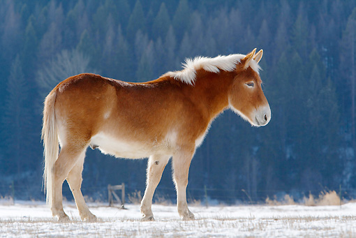 HOR 04 KH0003 01 © Kimball Stock Mule Standing In Snowy Pasture