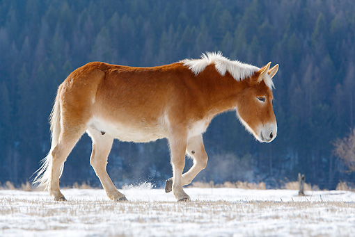 HOR 04 KH0004 01 © Kimball Stock Mule Walking In Snowy Pasture