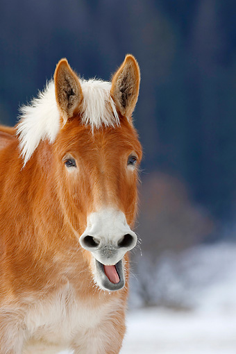 HOR 04 KH0007 01 © Kimball Stock Head Shot Of Mule Standing In Snowy Pasture Yawning