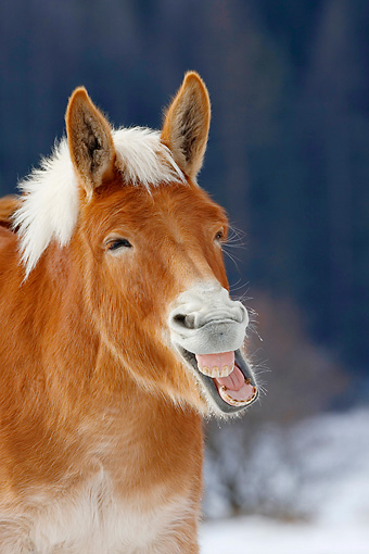 HOR 04 KH0008 01 © Kimball Stock Head Shot Of Mule Standing In Snowy Pasture Yawning