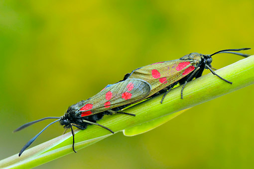INS 01 AC0023 01 © Kimball Stock Six-Spot Burnets Mating On Plant In County Kerry, Ireland