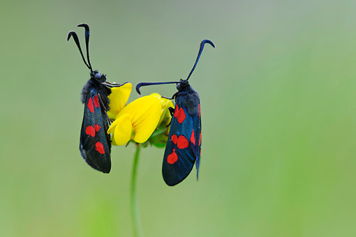 INS 01 AC0024 01 © Kimball Stock Six-Spot Burnets Mating On Flower