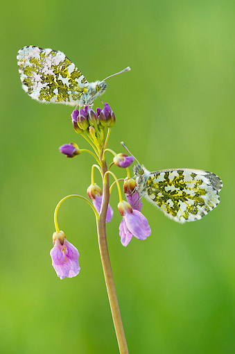 INS 01 AC0025 01 © Kimball Stock Orange Tip Butterflies Female Feeding From Cuckoo Flower