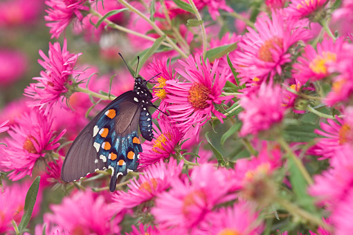INS 01 DA0001 01 © Kimball Stock Pipevine Swallowtail Perched On New England Aster