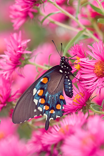 INS 01 DA0003 01 © Kimball Stock Pipevine Swallowtail Perched On New England Aster