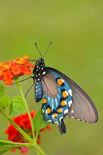 INS 01 DA0004 01 © Kimball Stock Pipevine Swallowtail Perched On Red Spread Lantana