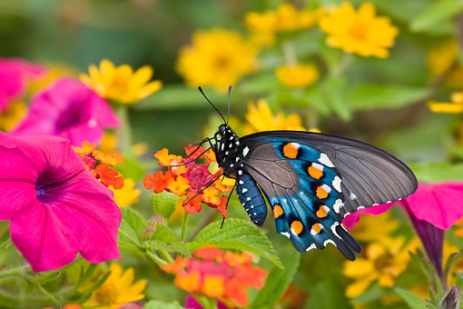INS 01 DA0005 01 © Kimball Stock Pipevine Swallowtail Perched On Red Spread Lantana In Butterfly Garden
