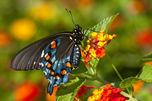 INS 01 DA0007 01 © Kimball Stock Pipevine Swallowtail Male Perched On Red Spread Lantana