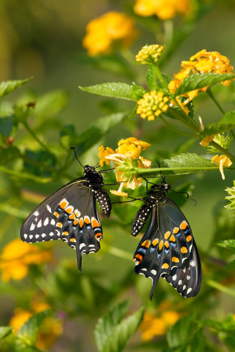 INS 01 DA0012 01 © Kimball Stock Black Swallowtail Male And Female Perched On New Gold Lantana