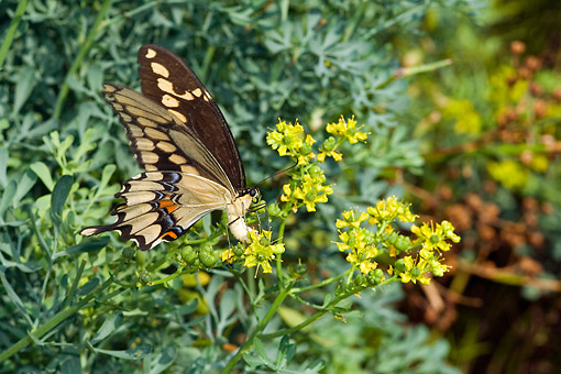 INS 01 DA0013 01 © Kimball Stock Giant Swallowtail Female Laying Eggs On Common Rue
