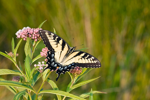 INS 01 DA0014 01 © Kimball Stock Eastern Tiger Swallowtail Perched On Swamp Milkweed