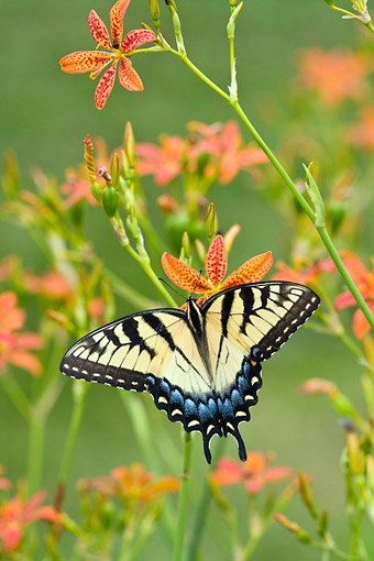 INS 01 DA0015 01 © Kimball Stock Eastern Tiger Swallowtail Perched On Blackberry Lily