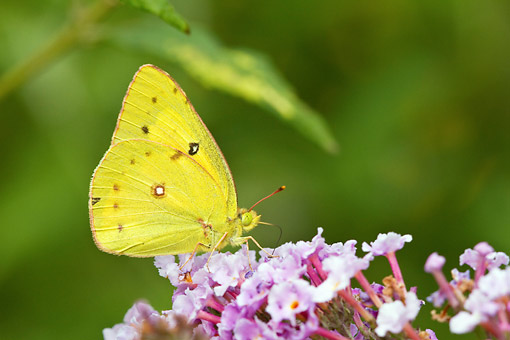 INS 01 DA0018 01 © Kimball Stock Orange Sulphur Butterfly Perched On Butterfly Bush
