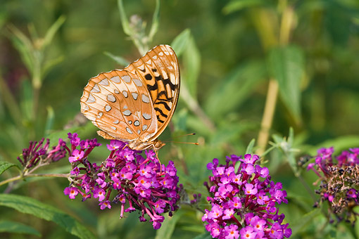 INS 01 DA0021 01 © Kimball Stock Great Spangled Fritilary Perched On Butterfly Bush
