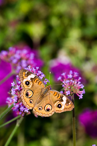 INS 01 DA0027 01 © Kimball Stock Common Buckeye Butterfly Perched On Brazilian Verbena