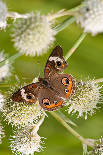 INS 01 DA0028 01 © Kimball Stock Common Buckeye Butterfly Perched On Rattlesnake Master