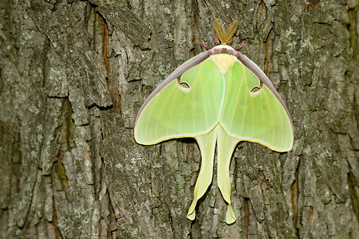 INS 01 DA0030 01 © Kimball Stock Luna Moth Perched On Tree Trunk