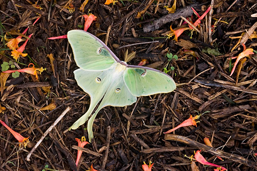 INS 01 DA0032 01 © Kimball Stock Luna Moth Perched On Mulch In Garden