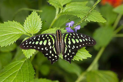 INS 01 GL0001 01 © Kimball Stock Tailed Jay Butterfly Perched On Leaf