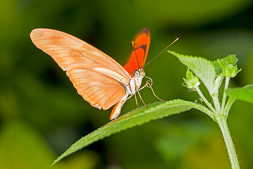 INS 01 GL0002 01 © Kimball Stock Julia Butterfly Perched On Leaf