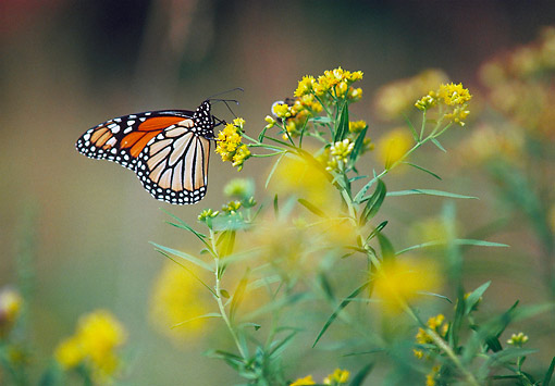 INS 01 GR0001 01 © Kimball Stock Monarch Butterfly Perched On Yellow Flower