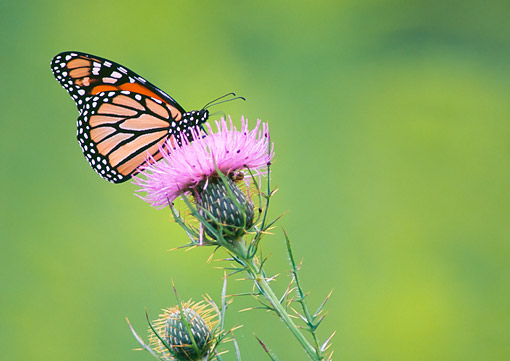 INS 01 GR0003 01 © Kimball Stock Monarch Butterfly On Bull Thistle Flower